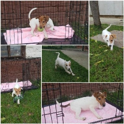 Jack Russell Terrier novo leglo